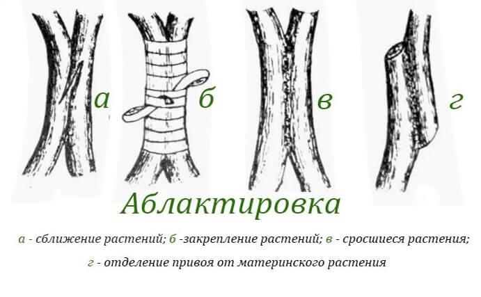 Как прививать плодовые деревья: инструкция, советы по процедуре